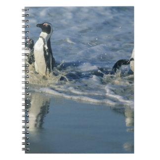 African Penguin, (Spheniscus demersus), coming 2 Notebook