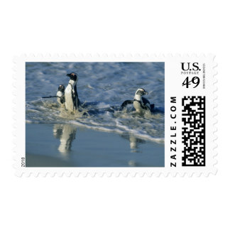 African Penguin Spheniscus demersus coming 2 Postage Stamp