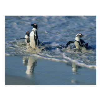 African Penguin, (Spheniscus demersus), coming 2 Post Card