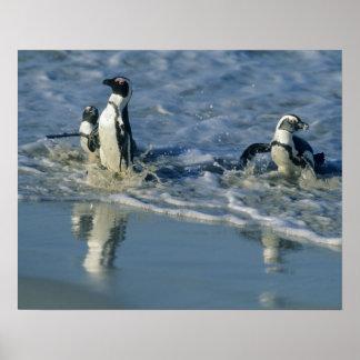 African Penguin, (Spheniscus demersus), coming 2 Poster