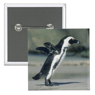 African Penguin, (Spheniscus demersus), coming Pins