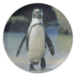 African Penguin ((Spheniscus demersus) coming Dinner Plate