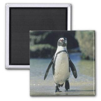 African Penguin ((Spheniscus demersus) coming Magnet