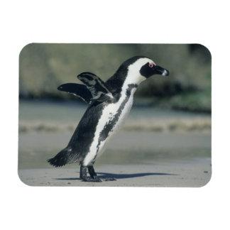 African Penguin, (Spheniscus demersus), coming Magnet
