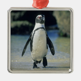 African Penguin ((Spheniscus demersus) coming Metal Ornament