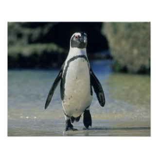 African Penguin ((Spheniscus demersus) coming Poster