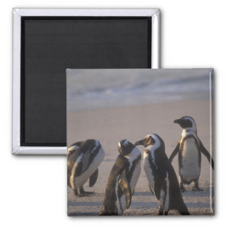 African Penguin (Spheniscus demersus) or Jackass 2 2 Inch Square Magnet