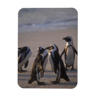 African Penguin (Spheniscus demersus) or Jackass 2 Magnet