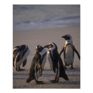 African Penguin (Spheniscus demersus) or Jackass 2 Print