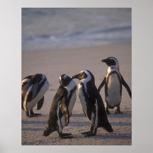 African Penguin (Spheniscus demersus) or Jackass 2 Poster
