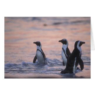 African Penguin (Spheniscus demersus) or Jackass 3 Card