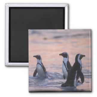African Penguin (Spheniscus demersus) or Jackass 3 Magnet