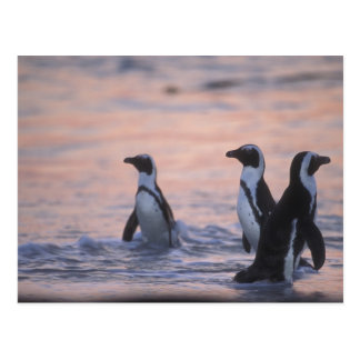 African Penguin (Spheniscus demersus) or Jackass 3 Postcard