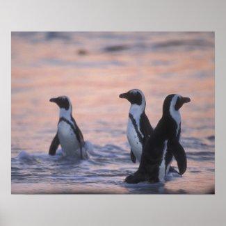 African Penguin (Spheniscus demersus) or Jackass 3 Print