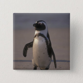 African Penguin (Spheniscus demersus) or Jackass Button