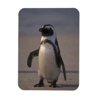 African Penguin (Spheniscus demersus) or Jackass Magnet