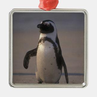 African Penguin (Spheniscus demersus) or Jackass Metal Ornament