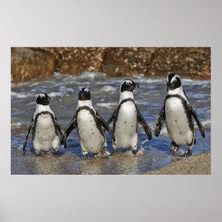 African Penguin, Spheniscus demersus Póster