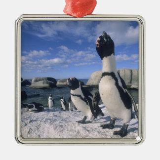 African Penguin ((Spheniscus demersus) wild, Metal Ornament