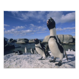 African Penguin ((Spheniscus demersus) wild, Poster