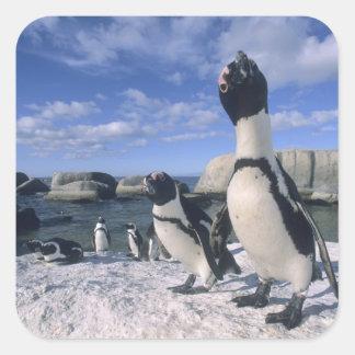 African Penguin ((Spheniscus demersus) wild, Sticker