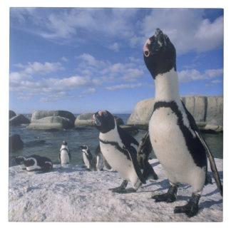 African Penguin ((Spheniscus demersus) wild, Ceramic Tile