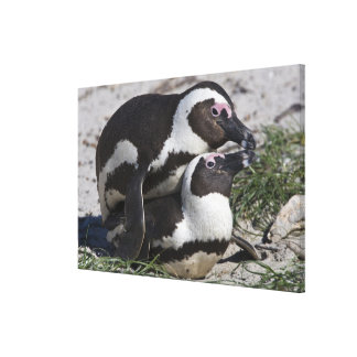 African Penguins, formerly known as Jackass 2 Canvas Print