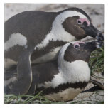 African Penguins, formerly known as Jackass 2 Ceramic Tile