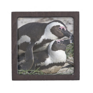 African Penguins, formerly known as Jackass 2 Jewelry Box