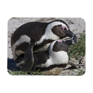 African Penguins, formerly known as Jackass 2 Magnet