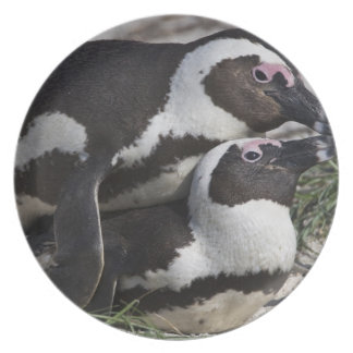 African Penguins, formerly known as Jackass 2 Plate