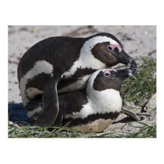 African Penguins, formerly known as Jackass 2 Postcard