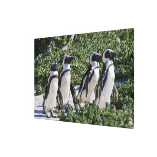 African Penguins, formerly known as Jackass Canvas Print