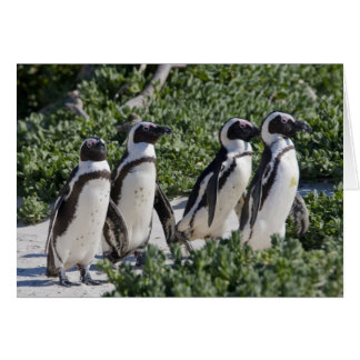 African Penguins, formerly known as Jackass Card