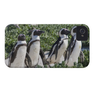 African Penguins, formerly known as Jackass iPhone 4 Case-Mate Case