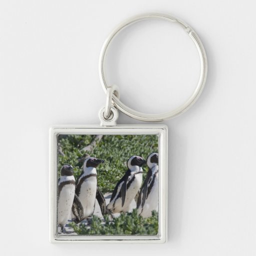 African Penguins, formerly known as Jackass Keychain