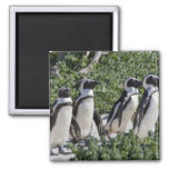 African Penguins, formerly known as Jackass 2 Inch Square Magnet