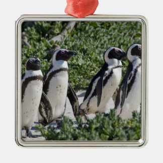 African Penguins, formerly known as Jackass Metal Ornament