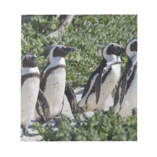 African Penguins, formerly known as Jackass Note Pad
