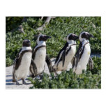 African Penguins, formerly known as Jackass Postcard