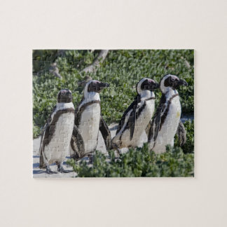 African Penguins, formerly known as Jackass Puzzle