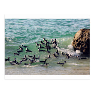 African penguins playing in the surf postcard