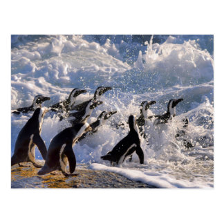 African Penguins Running into Waves Postcard