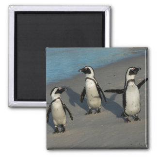 African Penguins | Spheniscus Demersus Magnet