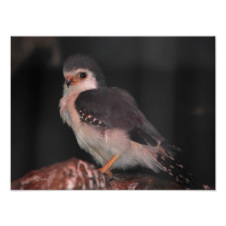African Pygmy Falcon Poster