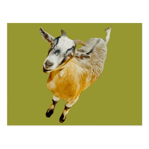 African Pygmy Goat Postcard