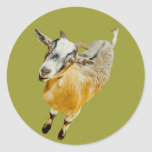 African Pygmy Goat Round Stickers