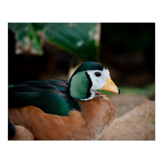 African Pygmy Goose Poster