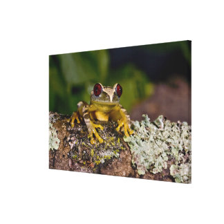 African Red Eye Treefrog Leptopelis 2 Stretched Canvas Prints