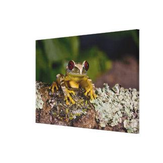 African Red Eye Treefrog, Leptopelis 2 Canvas Print